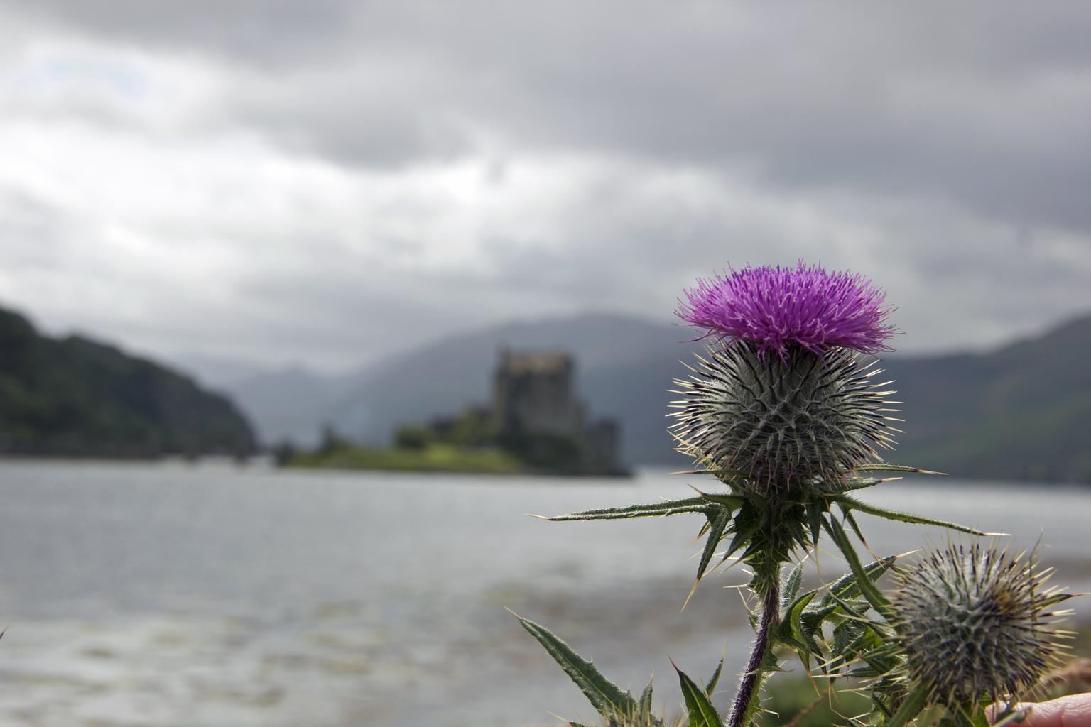 растение шотландии занимающее 67 процентов площади