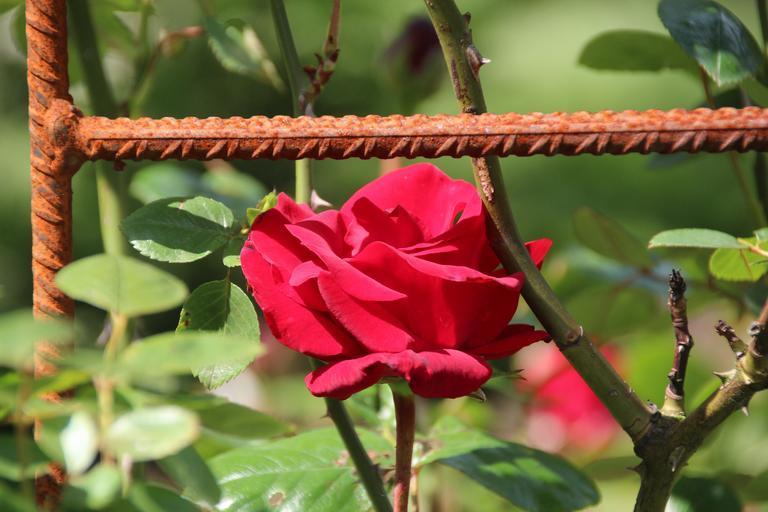 free images rose blossom bloom red 11. Black Bedroom Furniture Sets. Home Design Ideas