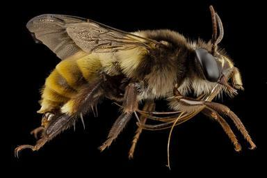 bee_big_3_color,_m,_india,_side_2014-08-10-07.04.23_ZS_PMax.jpg