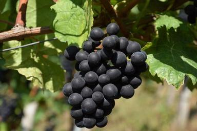 grape-red-red-grapes-grapevine-1688600.jpg