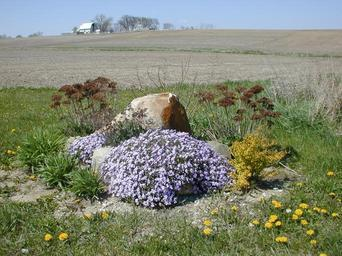 Violet flowers in front of rock.jpg