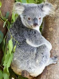 koala-bear-animal-mammal-cute-796021.jpg