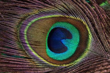 peacock-feather-structure-fund-186339.jpg
