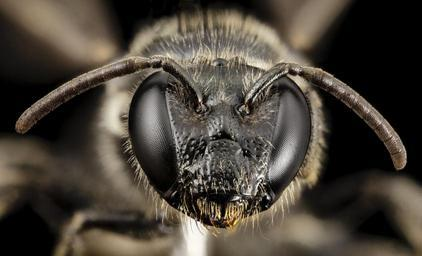 bee_small_red_tip,_f,_chile,_face_2014-08-08-17.31.24_ZS_PMax.jpg