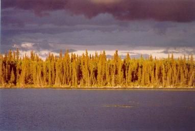 Sunset casts a golden light on the white spruce forest across a lake.jpg
