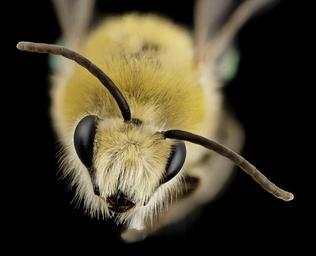 bee_cute_furry_face,_m,_argentina,_angle_2014-08-07-18.11.05_ZS_PMax.jpg