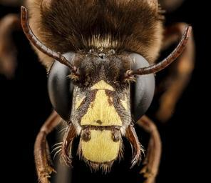 bee_big_3_color,_m,_india,_face_2014-08-10-06.57.35_ZS_PMax.jpg