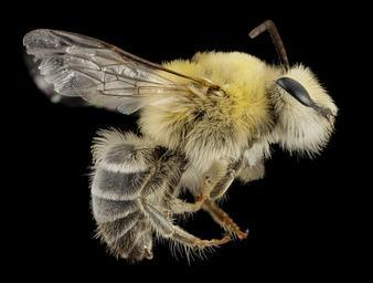 bee_cute_furry_face,_m,_argentina,_side_2014-08-07-18.46.27_ZS_PMax.jpg