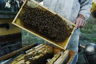 Bees in the hive.jpg