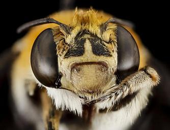 bee,_m,_face,_south_africa,_wcp_2014-08-07-08.21.01_ZS_PMax.jpg