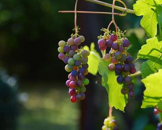 grapes-vine-red-grapes-wine-1659118.jpg