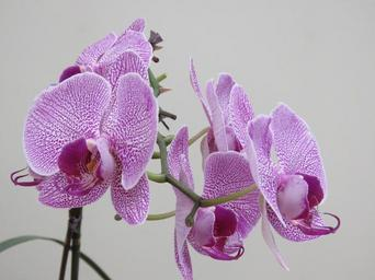 violet-orchid-beautiful-orchid-1440067.jpg