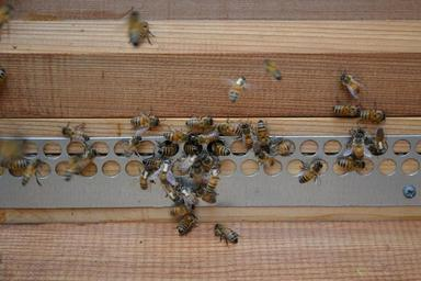 bees-honey-bees-mohawk-bees-272152.jpg